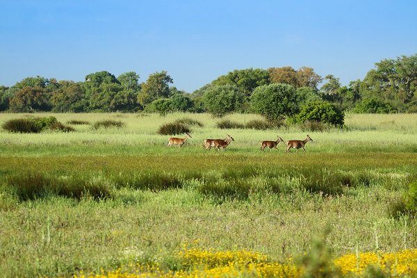 groupo of deer at the marshes edge