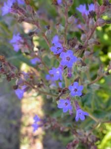 Flor anchusa Doñana
