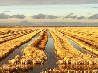 Campo arroz cosechado