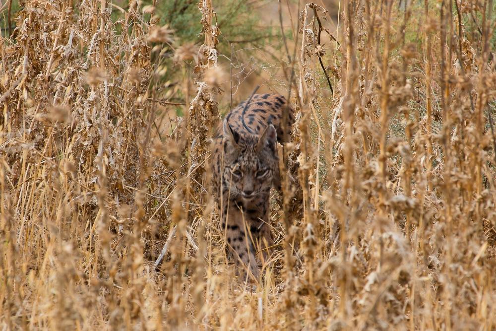 Lince vuelve de cazar
