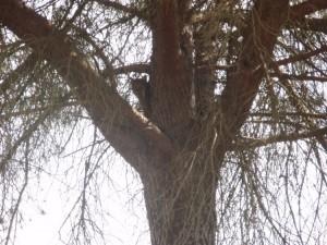 Lince montado en un árbol
