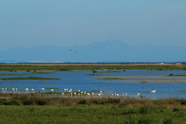 flamingoes in the marshes