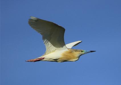garcilla cangrejera con plumaje nupcial en vuelo