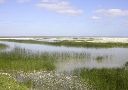 marisma en primavera con castañuela y manzanilla de agua