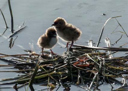 whiskered tern chicks