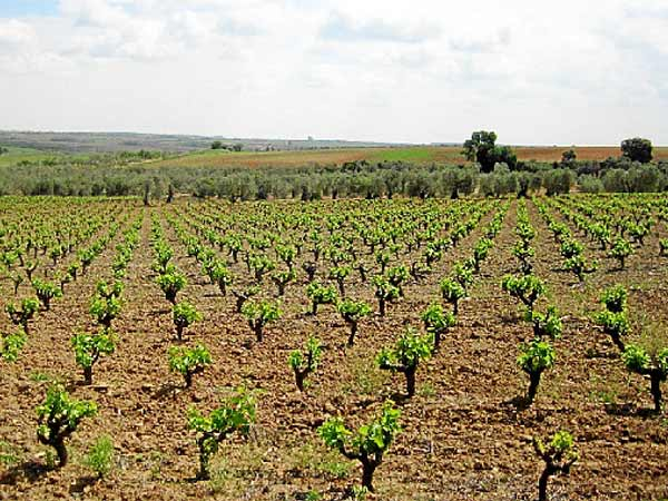 viñas y olivares
