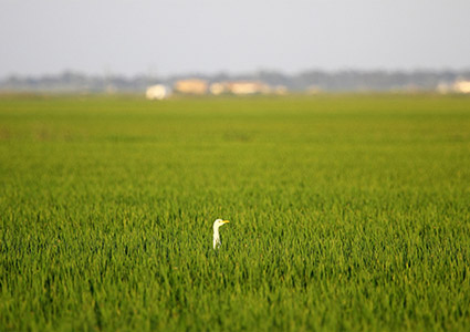 cattle egret neck stading our in the middle of a rice field