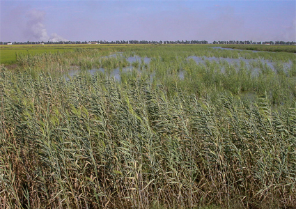 thick reed beds