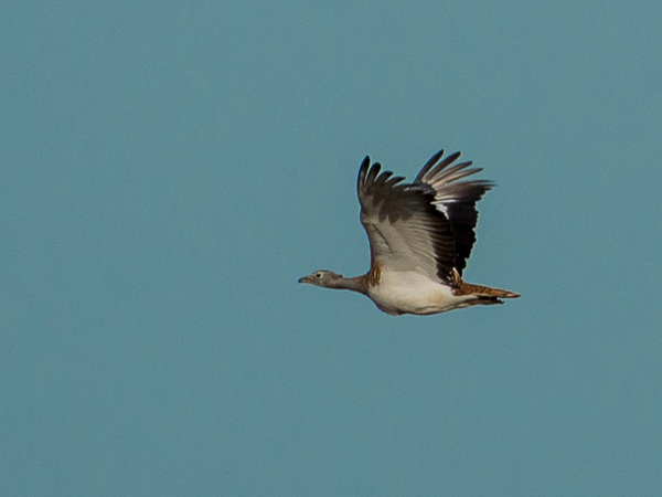 great bustard in flight