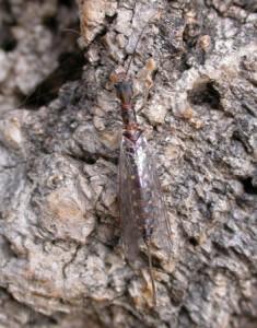 hembra de mosca serpiente
