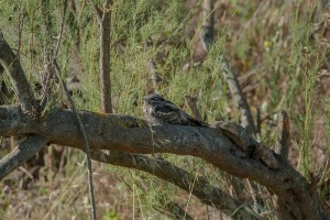 european nightjar perched on a branch