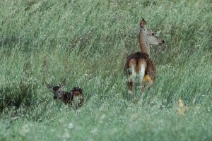 female red deer with just born young