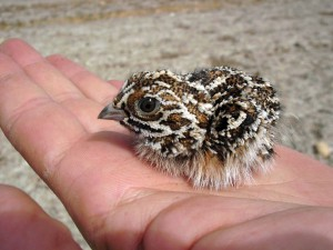 A pintail sandgrouse chick on a hand