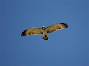 águila culebrera