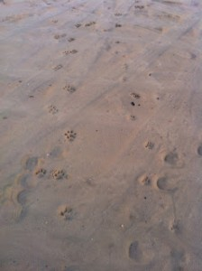 Huellas de la Lince Fagínea y sus cachorros