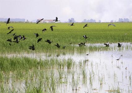 bando de moritos en el arrozal