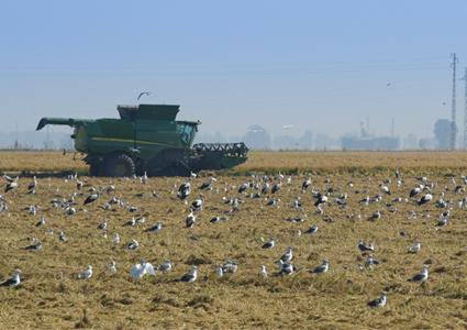 cosechadora trabajando un campo rodeada de aves