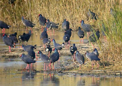 grup of purple swamphens