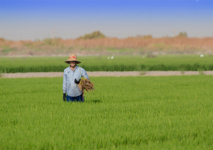 man with a straw hat weeding a rice field