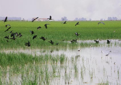 group of glossy ibis flying over a rice field