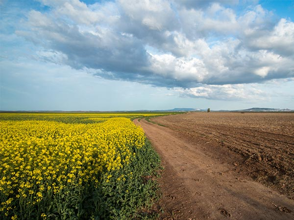 rape field and ploughed field