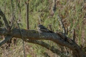 european nightjar perched on a branch