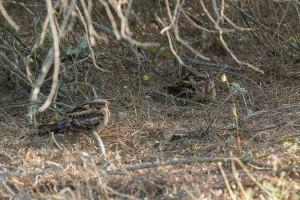 Pareja de chotacabras cuellirrojo posados en el suelo