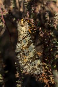 Adulto de Palpares libelluloides posado